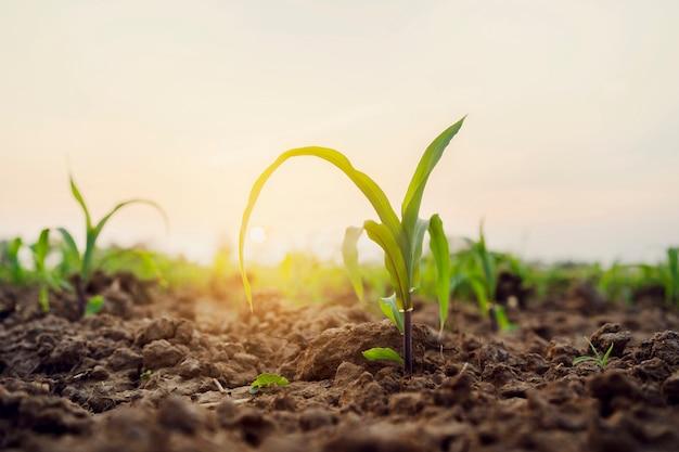 Zielona kukurudza na polu z wschodem słońca. koncepcja rolnictwa
