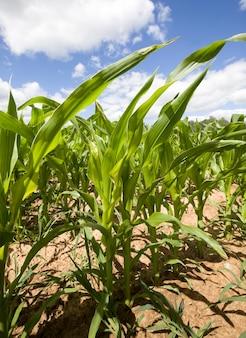 Zielona kukurydza, która rośnie na polach uprawnych, produkując żywność