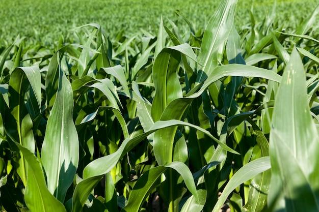 Zielona kukurydza