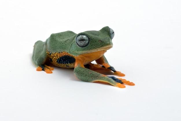 Zielona latająca żaba na białym tle