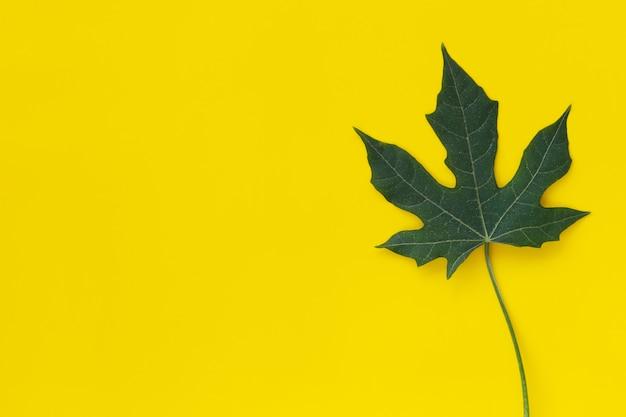 Zielona liść chaya roślina odizolowywająca na kolorze żółtym.