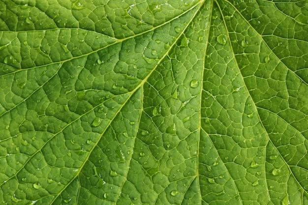 Zielona liść tekstura z wodnymi kroplami.