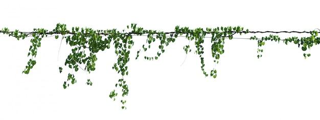 Zielona liścia bluszcza roślina odizolowywa na bielu