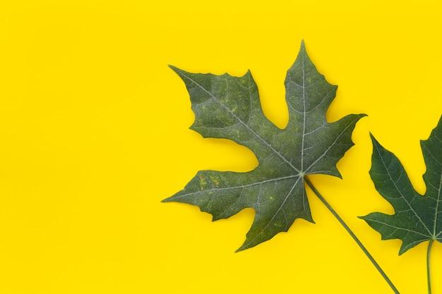 Zielona liścia chaya roślina odizolowywająca na żółtym tle.