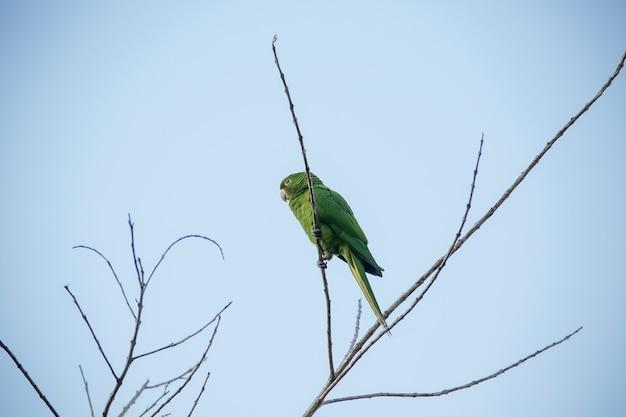 Zielona maitaca na drzewie z błękitnym niebem w pięknym letnim krajobrazie