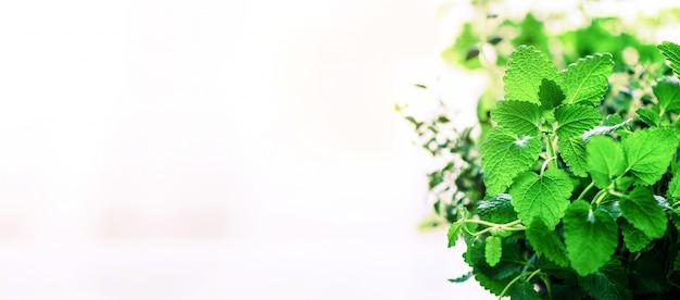 Zielona mięta organiczna na jasnym tle. liście mięty ze słonecznymi przeciekami, bokeh.