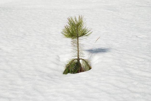 Zielona młoda jodła w białym śniegu