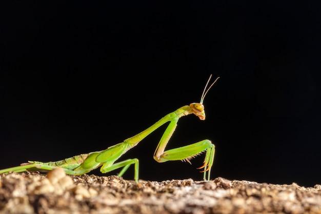 Zielona modliszka
