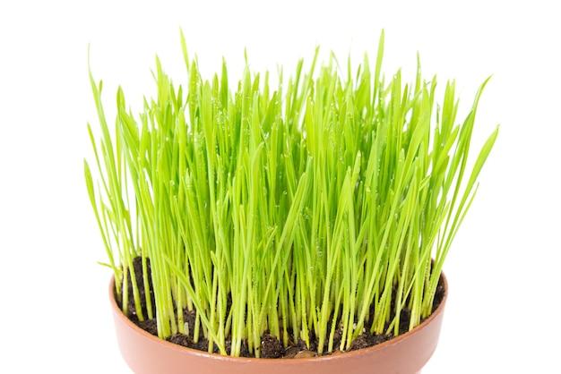 Zielona mokra trawa z kroplami wody w doniczce na białym tle