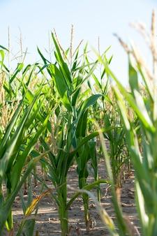 Zielona niedojrzała kukurydza - pole rolnicze, na którym rośnie niedojrzała zielona kukurydza, rolnictwo, niebo