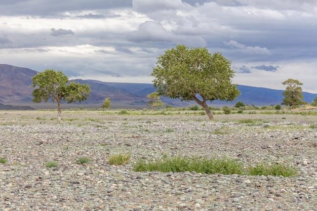 Zielona oaza na skalistej glebie ałtaju mongolii