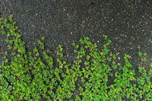 Zielona okrągłolistna powój bai tang riani to roślina pnąca na ziemi używana jako naturalne tło