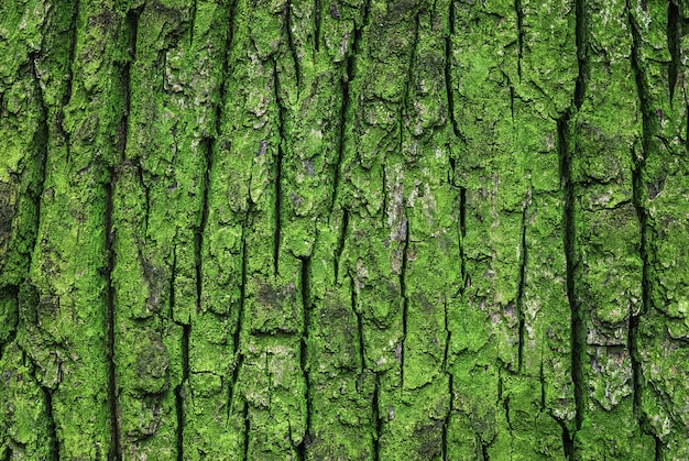 Zielona omszona kora tekstura starego dębu