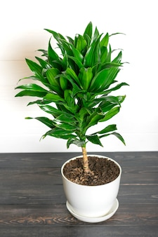 Zielona pachnąca draceny roślina odizolowywająca domowa roślina, domowy wystroju pojęcie