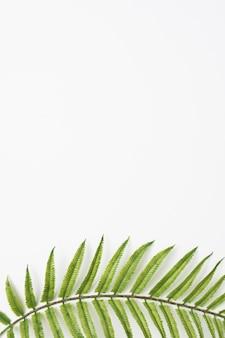 Zielona paproć pozostawia na dole białe tło
