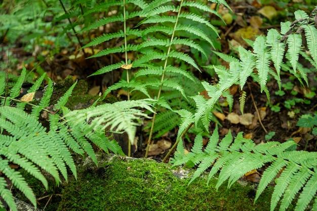 Zielona paproć z długimi liśćmi w lesie
