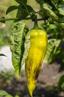 Zielona papryka rośnie na krzaku w ogrodzie. bułgarska lub słodka papryka.