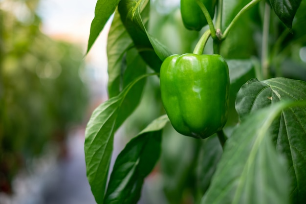 Zielona papryka wisząca na roślinie w ogrodzie