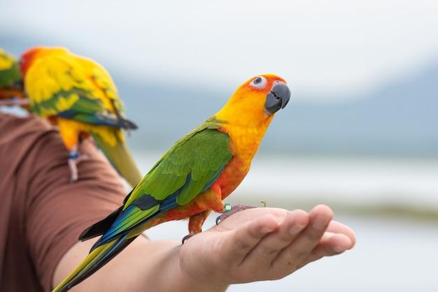 Zielona papuga ma czarny dziób stojący na ramieniu mężczyzny.