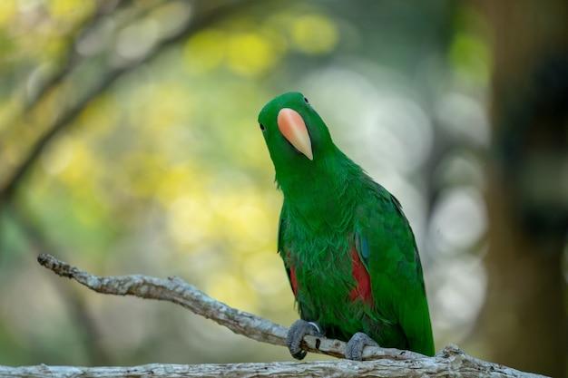 Zielona papuga powiesić i stanąć na gałęzi w lesie rozmycie tła bokeh.