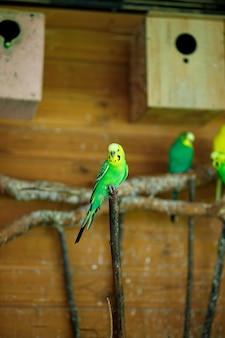 Zielona papuga w paski siedzący na gałęzi