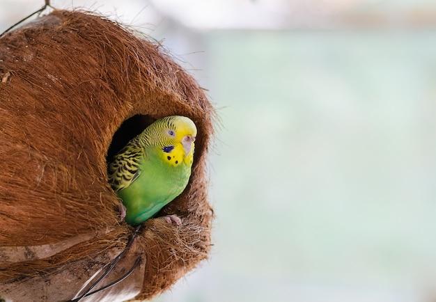 Zielona papużka falista w gnieździe kokosowym