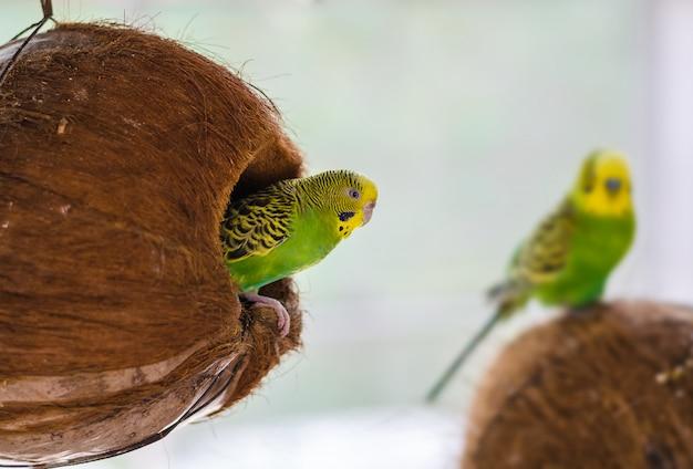 Zielona papużka falista