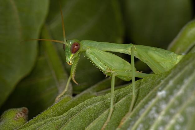 Zielona photinaid modliszka nimfa z plemienia photinaini