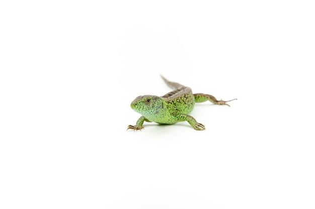 Zielona piękna jaszczurka zwinka na białym tle