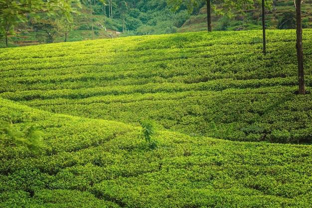 Zielona plantacja herbaty cejlońskiej.