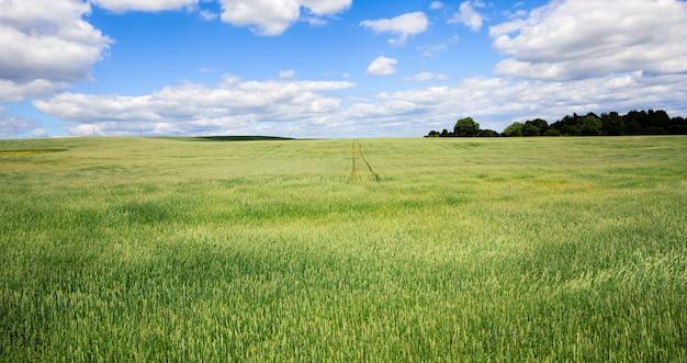 Zielona pszenica lub żyto, które rośnie na polach uprawnych, produkując żywność