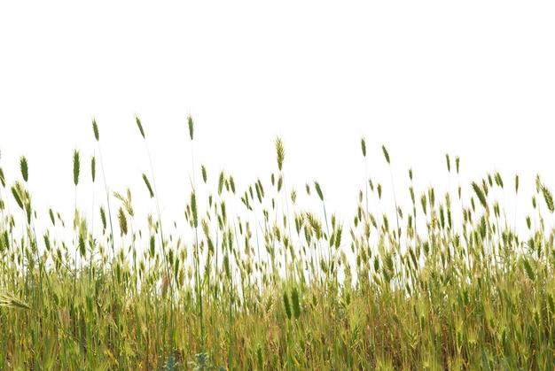 Zielona pszenica na białym tle