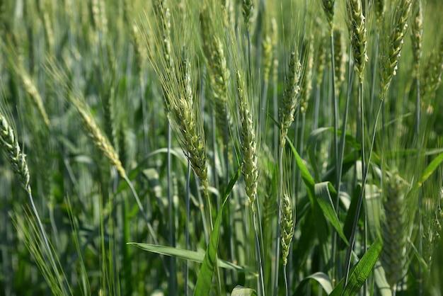Zielona pszenica w polu gospodarstwa ekologicznego