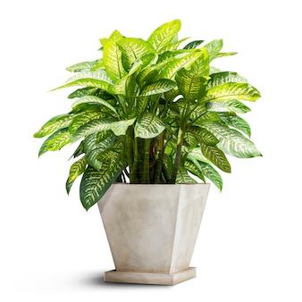 Zielona roślina doniczkowa na białym tle