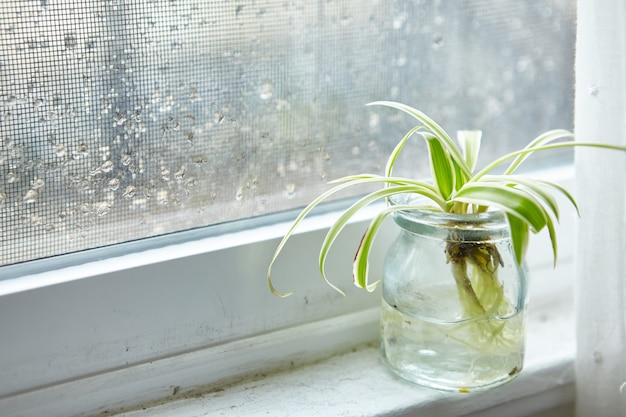 Zielona roślina doniczkowa w szklanym słoju na parapecie w deszczowy dzień