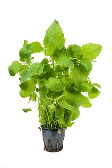 Zielona roślina melisy na białym tle