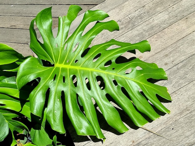 Zielona roślina monstera deliciosa w ogrodzie