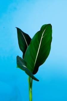 Zielona roślina o nazwie latin dieffenbachia oerstedii