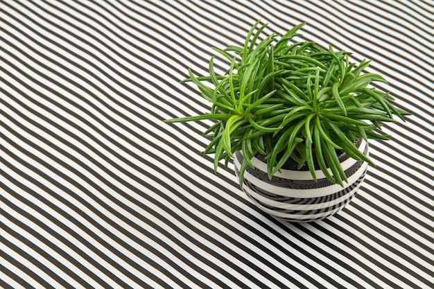 Zielona roślina ozdobna w doniczce w paski na tle czarno-białe paski.
