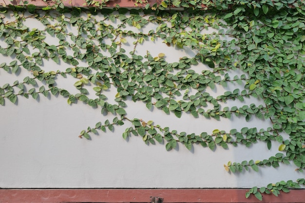 Zielona roślina pnącza na ścianie