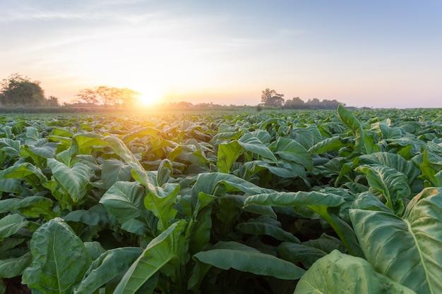 Zielona roślina tytoniu w polu w nongkhai w tajlandii.