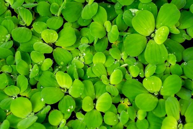 Zielona roślina wodna z kroplą rosy