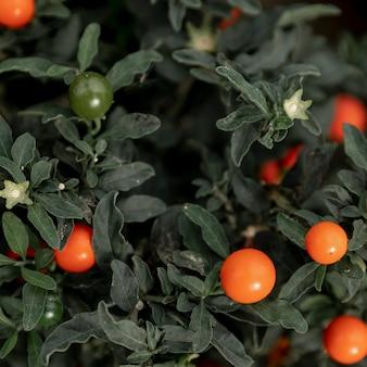 Zielona roślina z pomarańczowymi jagodami