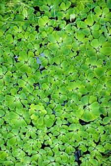 Zielona rzęsa w wodzie