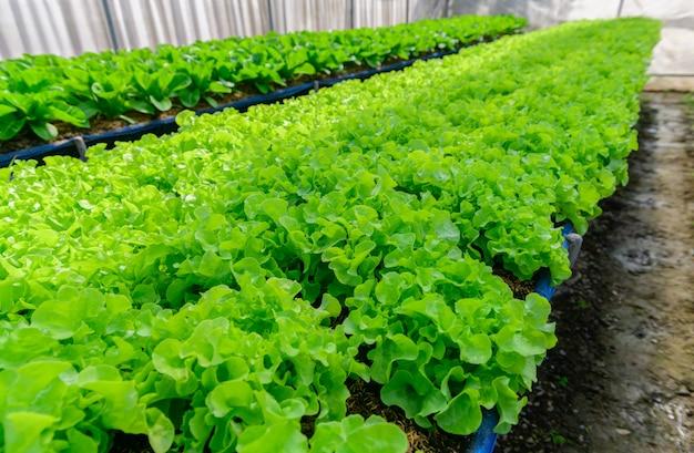 Zielona sałata dębowa w gospodarstwie ekologicznym w lop buri, tajlandia,