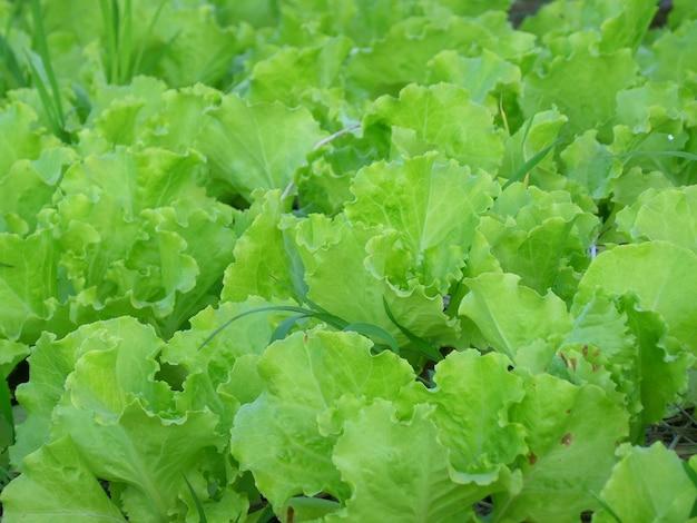 Zielona sałata dębowa w gospodarstwie ekologicznym w tajlandii