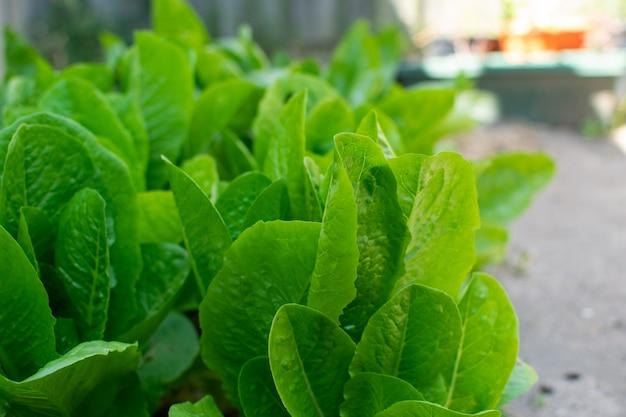 Zielona sałata w ogrodzie