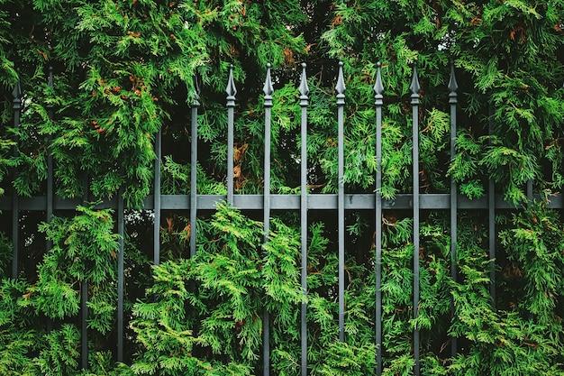 Zielona ściana roślinna i ogrodzenie jako tło tekstury roślinnej i projekt botaniczny