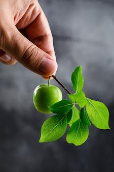 Zielona śliwka w ręku z gałęzi na ciemnej ścianie, widok z boku.