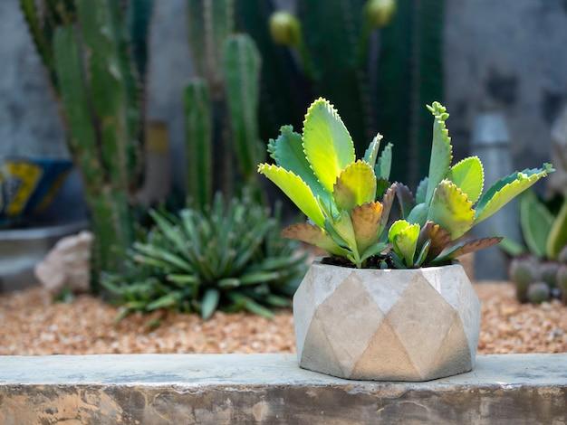 Zielona soczysta roślina, hybryda kalanchoe w geometrycznej doniczce betonowej na tropikalnym kaktusowym ogrodzie.